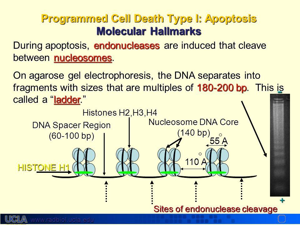 Programmed Cell Death Type I: Apoptosis Molecular Hallmarks