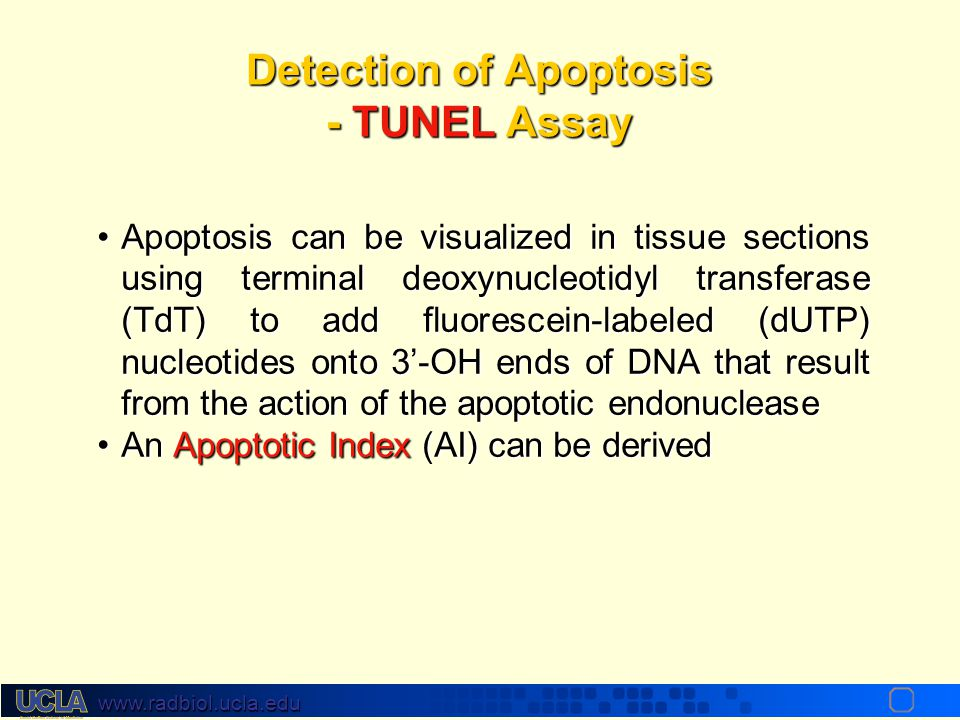 Detection of Apoptosis - TUNEL Assay