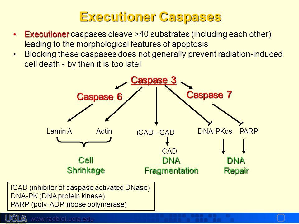 Executioner Caspases Caspase 3 Caspase 7 Caspase 6