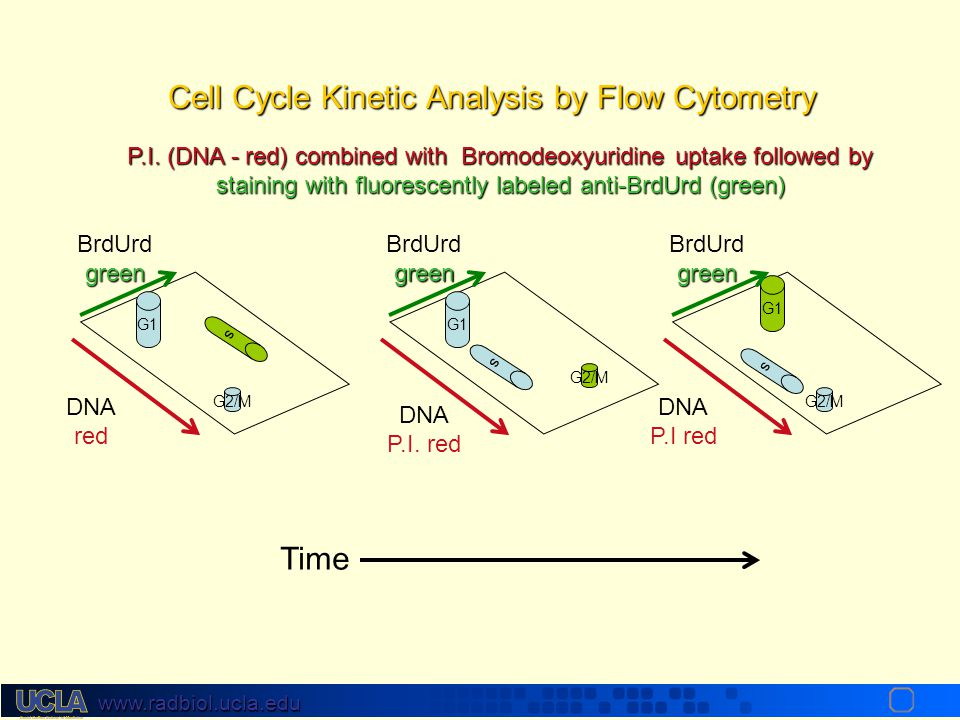 Cell Cycle Kinetic Analysis by Flow Cytometry