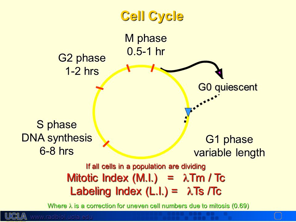 Cell Cycle M phase 0.5-1 hr G2 phase 1-2 hrs S phase DNA synthesis