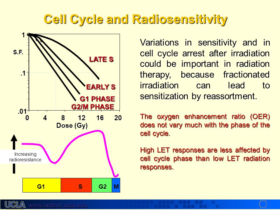 Cell Cycle and Radiosensitivity