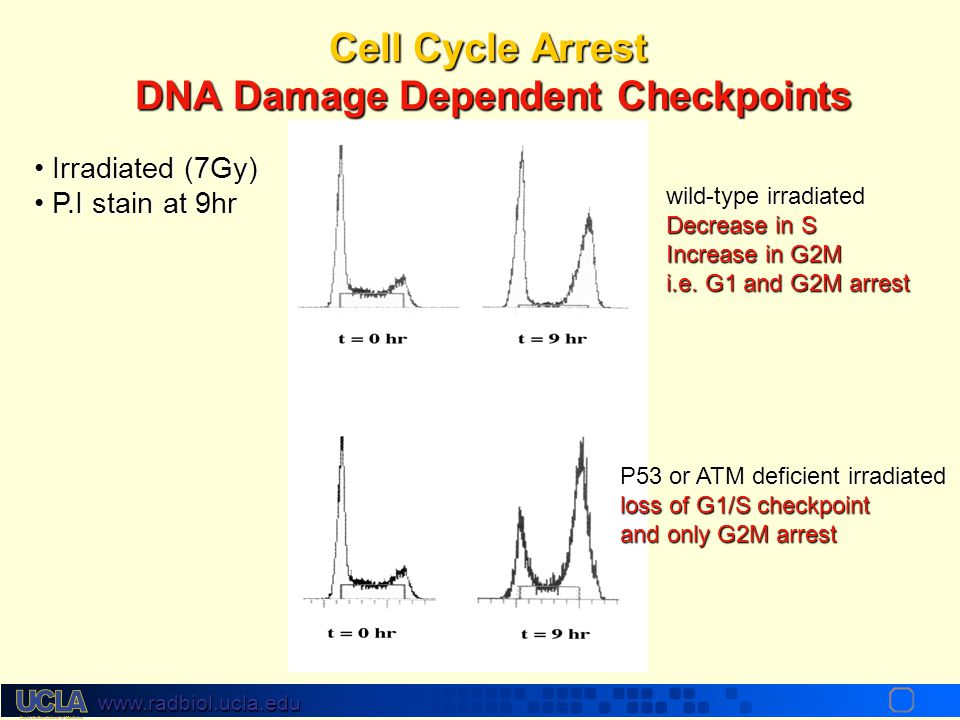 Cell Cycle Arrest DNA Damage Dependent Checkpoints