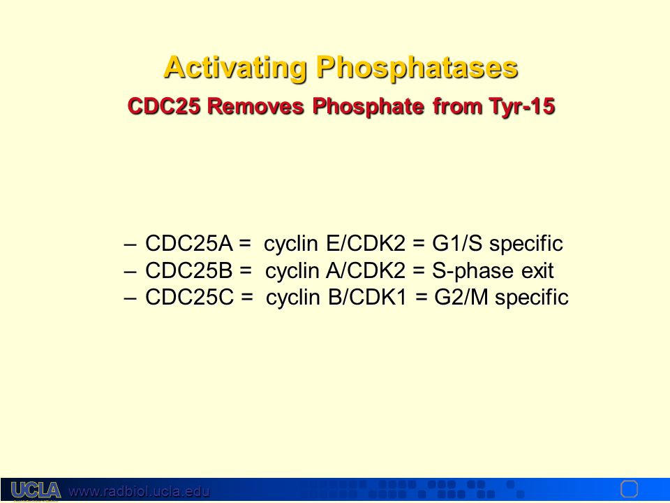 Activating Phosphatases CDC25 Removes Phosphate from Tyr-15