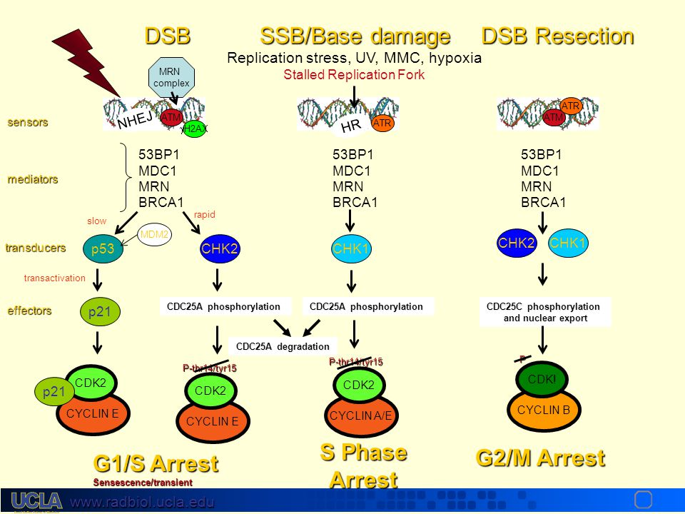 DSB SSB/Base damage DSB Resection S Phase Arrest G2/M Arrest