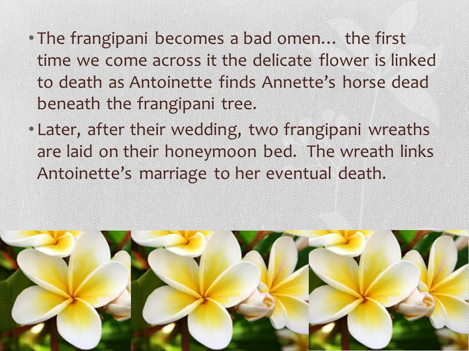 The frangipani becomes a bad omen… the first time we come across it the delicate flower is linked to death as Antoinette finds Annette's horse dead beneath the frangipani tree.