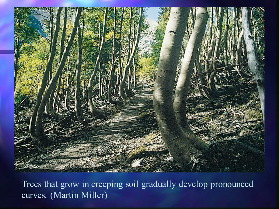 Trees that grow in creeping soil gradually develop pronounced curves