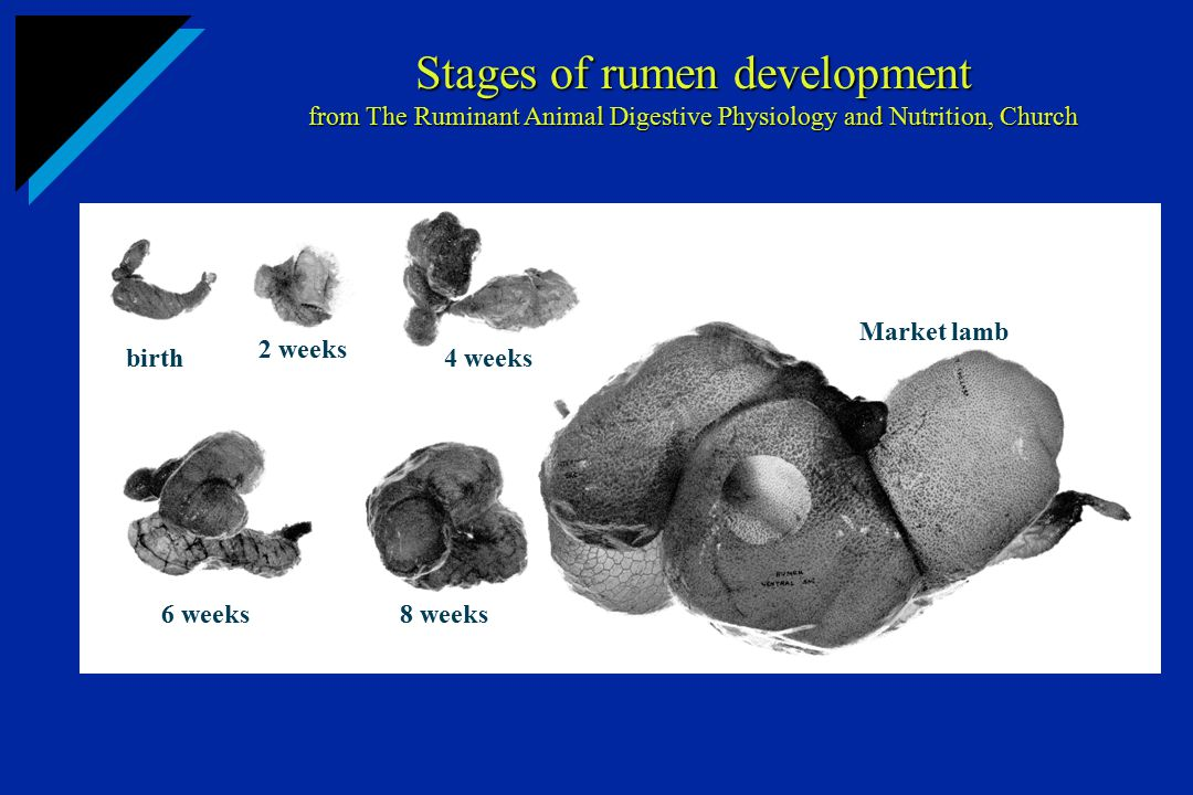 Stages of rumen development