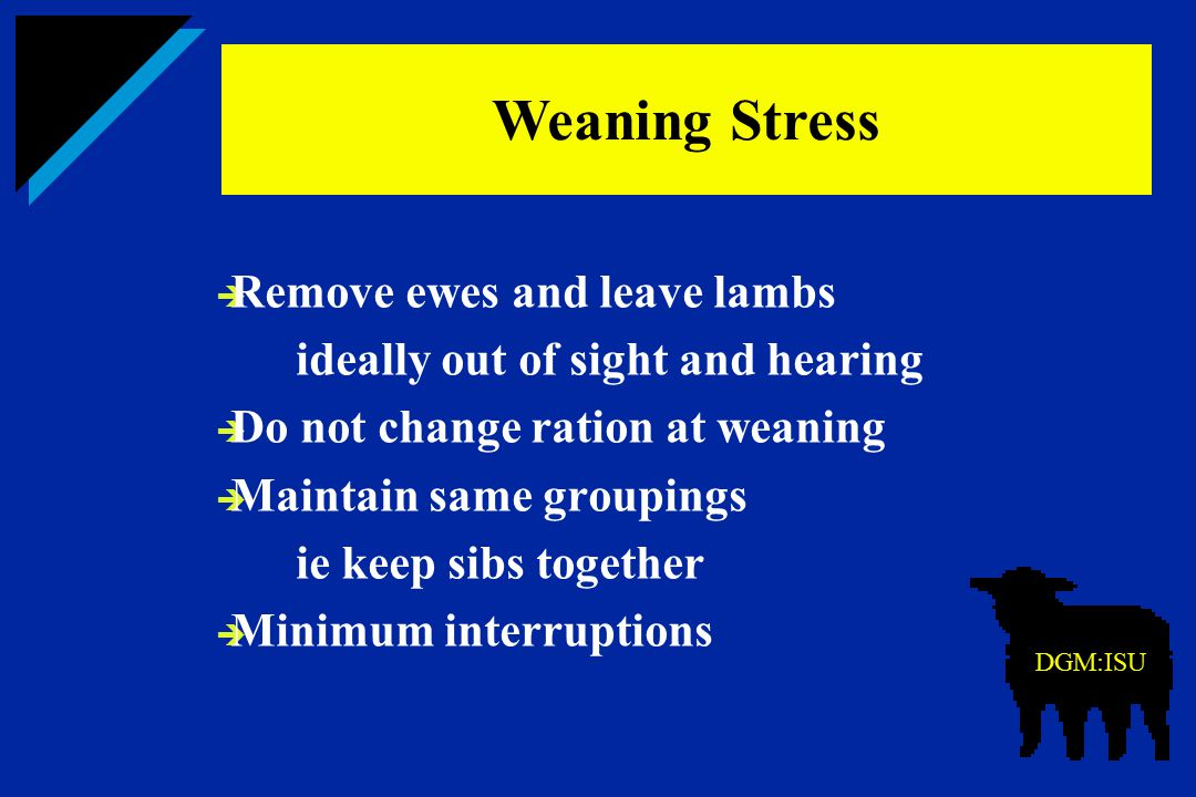 Weaning Stress Remove ewes and leave lambs
