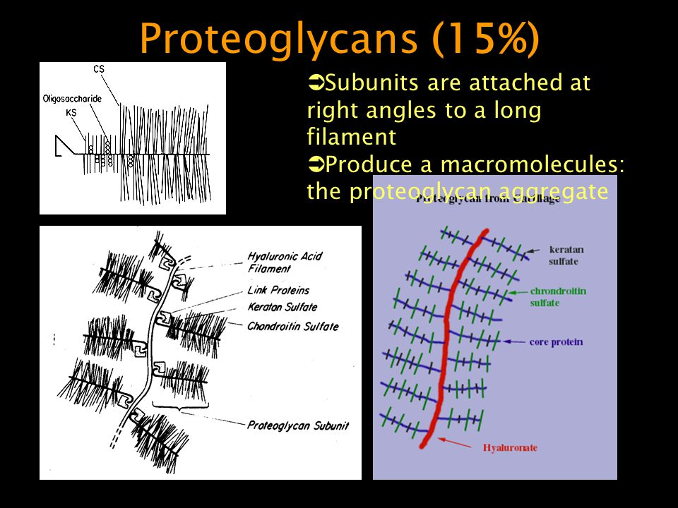 Proteoglycans (15%) Subunits are attached at right angles to a long filament.