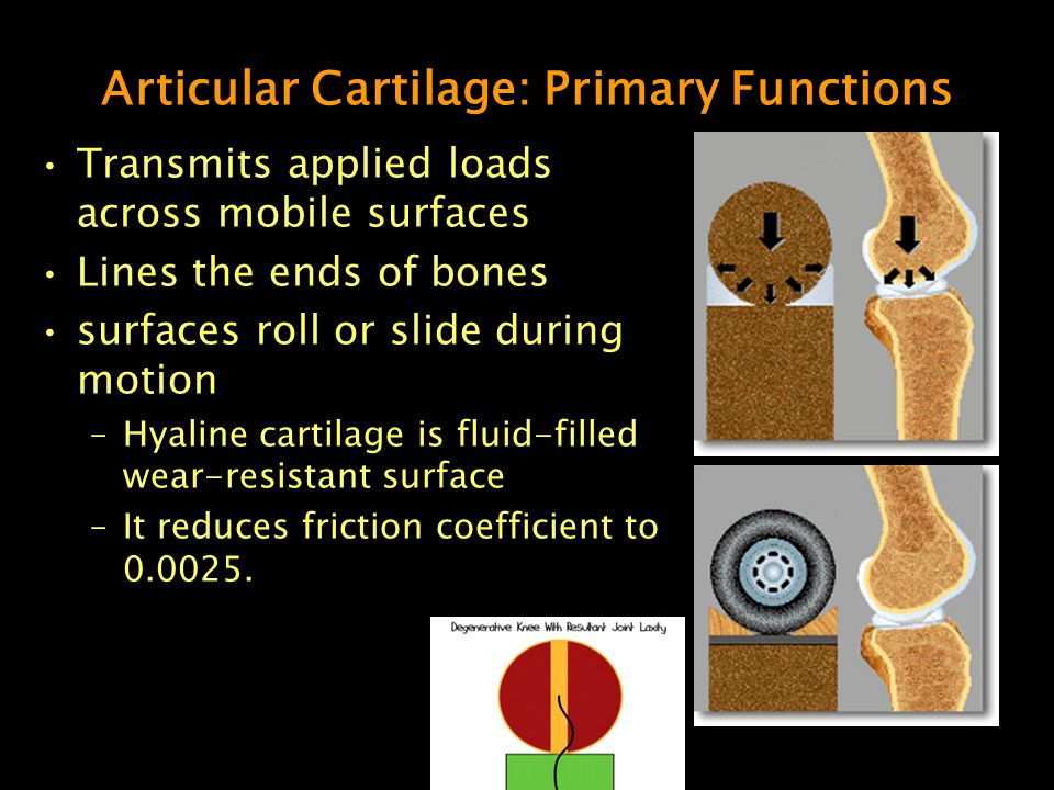 Articular Cartilage: Primary Functions