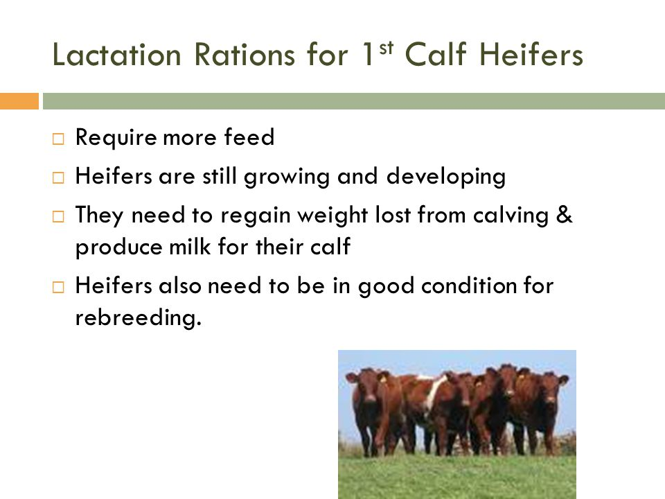 Lactation Rations for 1st Calf Heifers