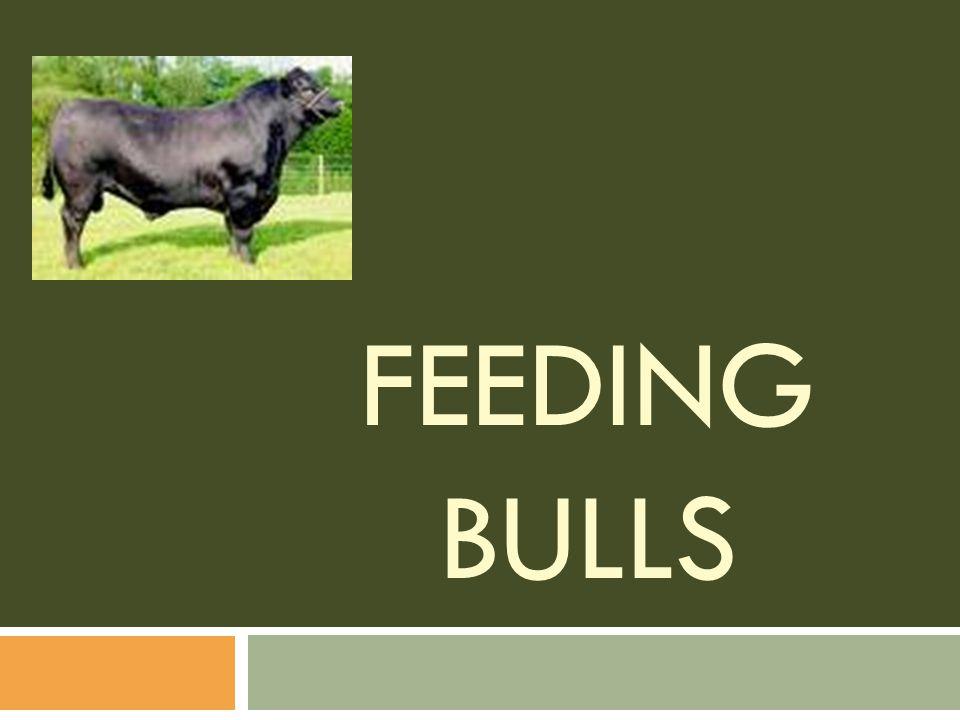 Feeding Bulls