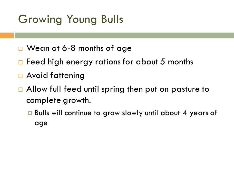 Growing Young Bulls Wean at 6-8 months of age