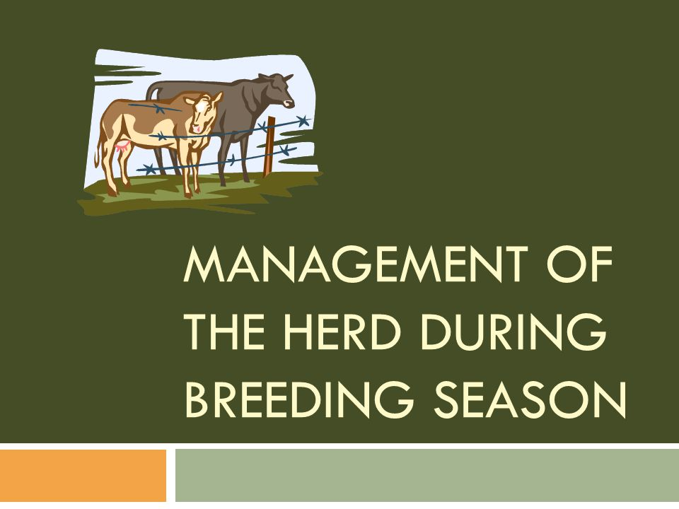 Management of the Herd During Breeding Season