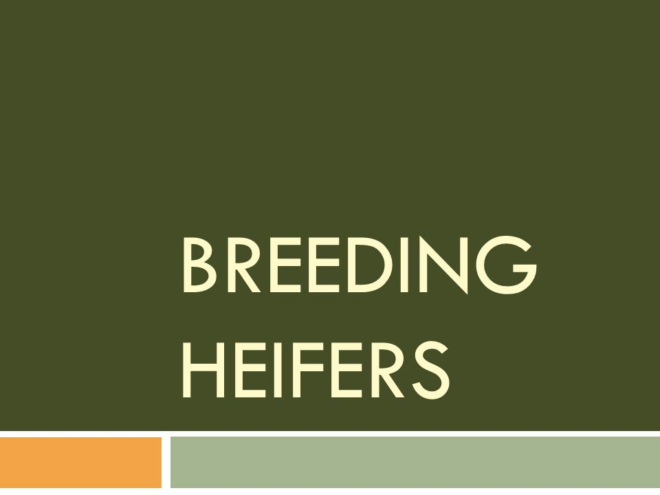 Breeding Heifers