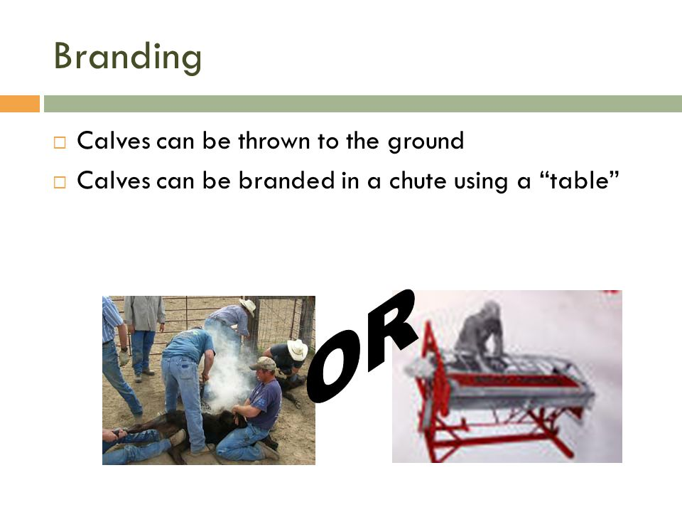 Branding OR Calves can be thrown to the ground