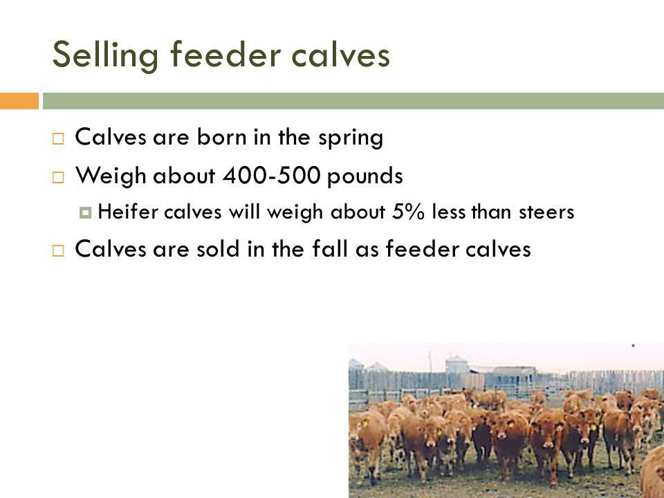 Selling feeder calves Calves are born in the spring