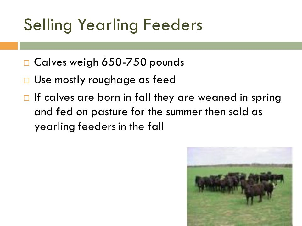 Selling Yearling Feeders
