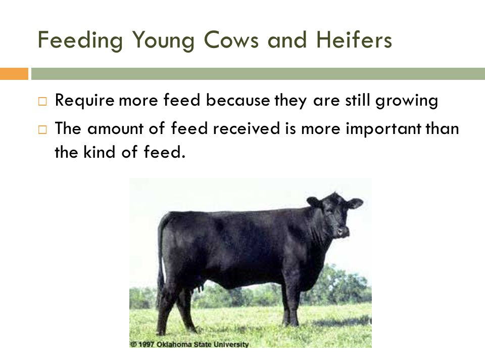 Feeding Young Cows and Heifers