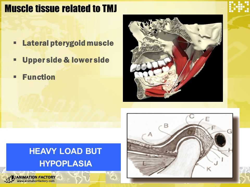 Muscle tissue related to TMJ