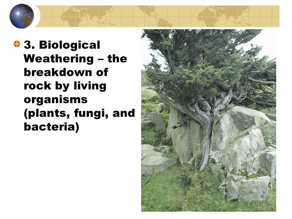 3. Biological Weathering – the breakdown of rock by living organisms (plants, fungi, and bacteria)
