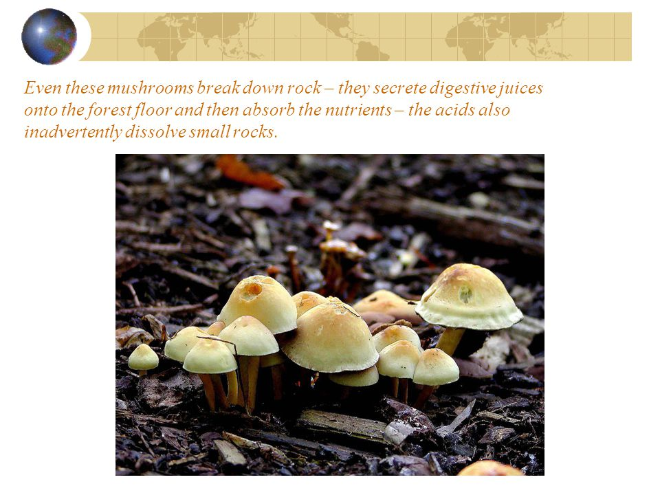 Even these mushrooms break down rock – they secrete digestive juices onto the forest floor and then absorb the nutrients – the acids also inadvertently dissolve small rocks.