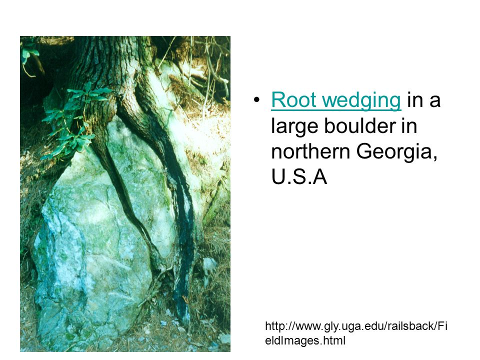 Root wedging in a large boulder in northern Georgia, U.S.A
