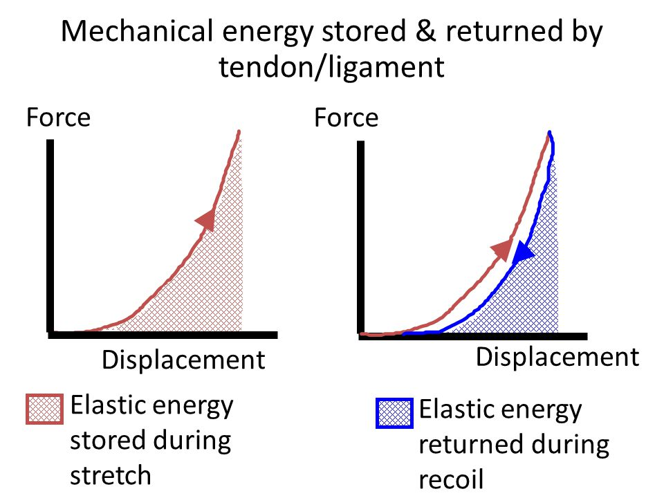 Mechanical energy stored & returned by tendon/ligament