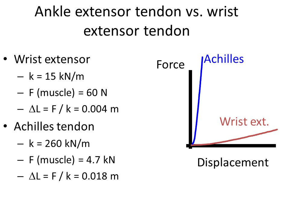 Ankle extensor tendon vs. wrist extensor tendon