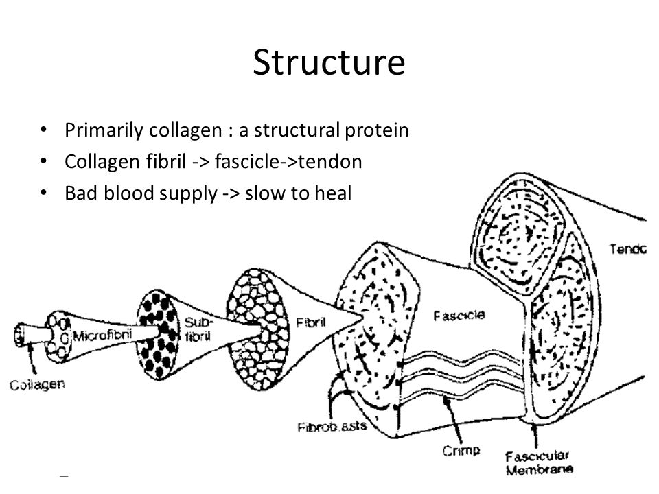 Structure Primarily collagen : a structural protein