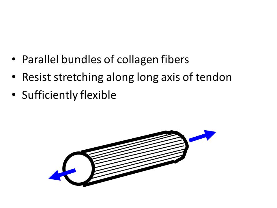 Parallel bundles of collagen fibers