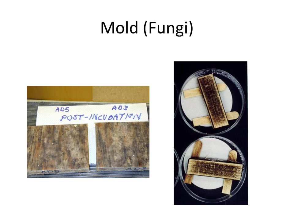 Mold (Fungi) Mold on Wood