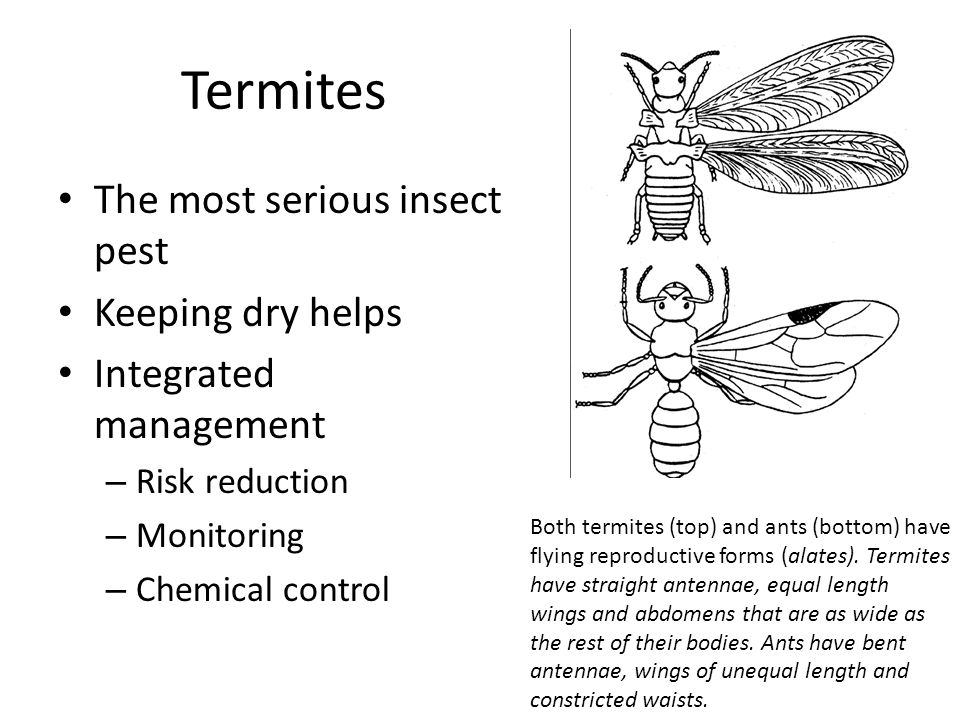 Termites The most serious insect pest Keeping dry helps