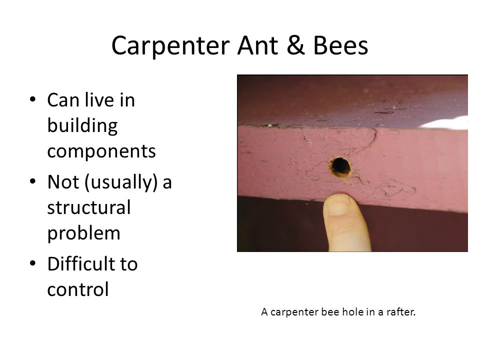 Carpenter Ant & Bees Can live in building components