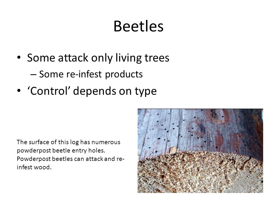 Beetles Some attack only living trees 'Control' depends on type