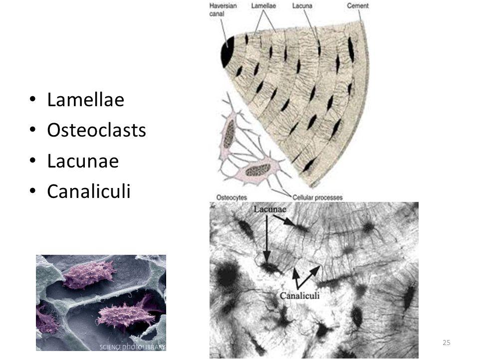 Lamellae Osteoclasts Lacunae Canaliculi