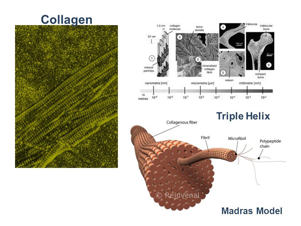 Collagen Triple Helix Madras Model