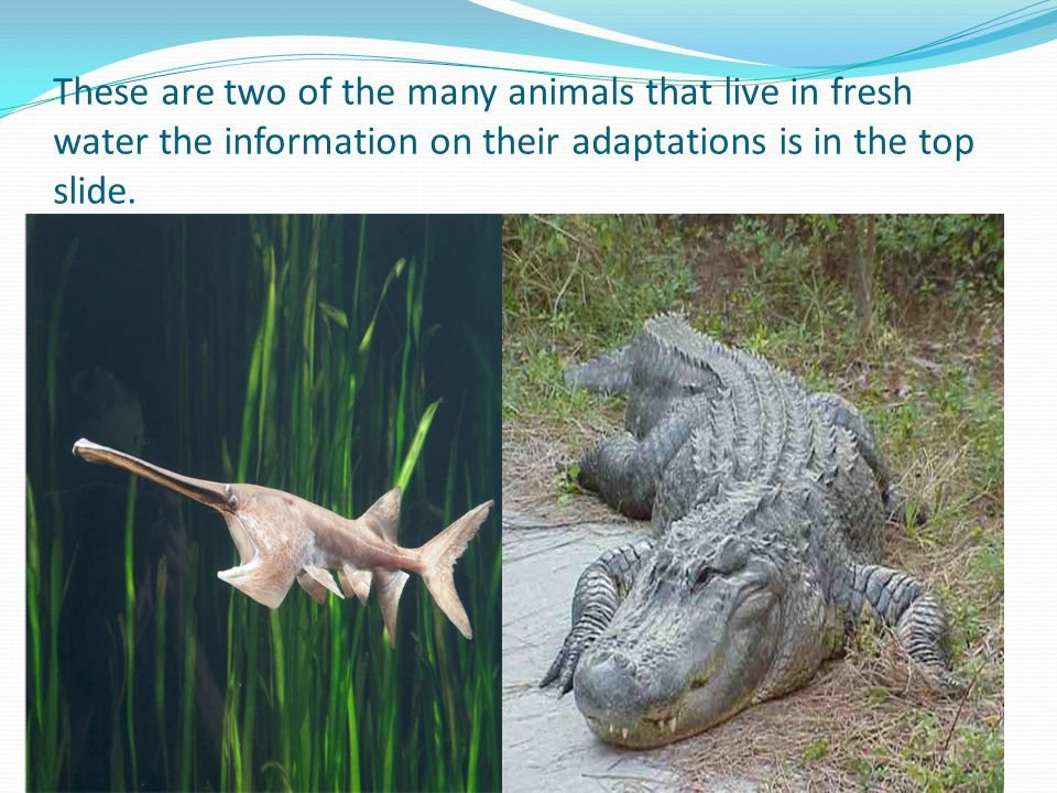 These are two of the many animals that live in fresh water the information on their adaptations is in the top slide.