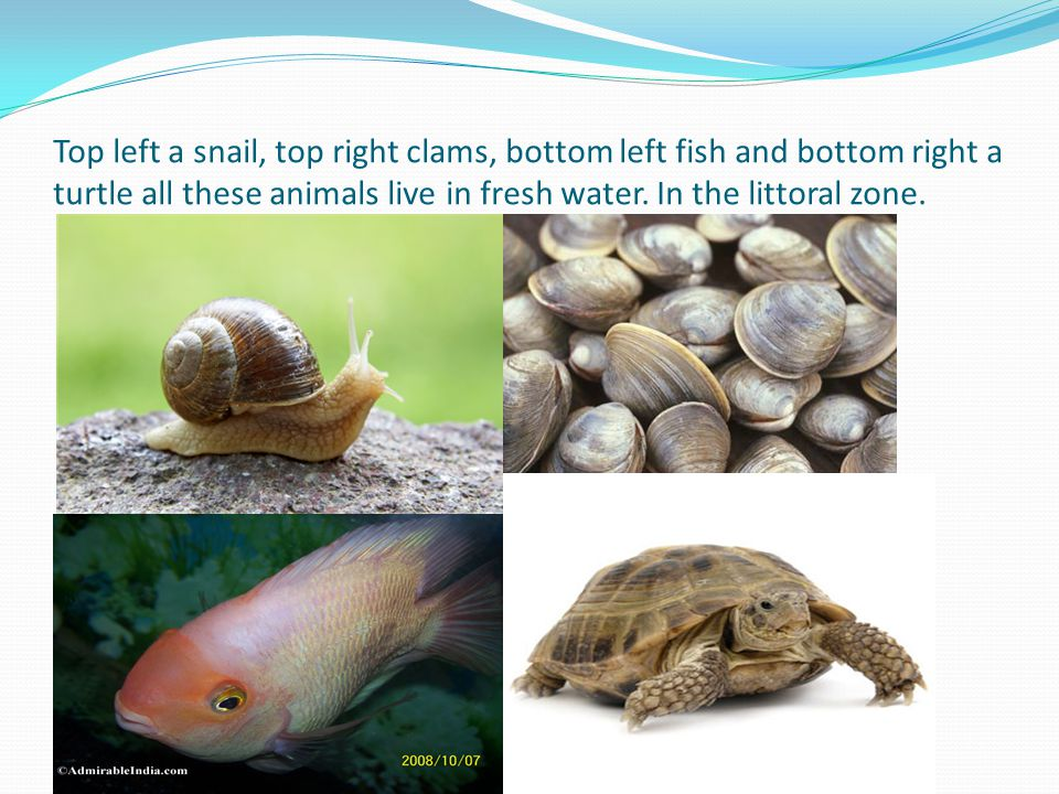 Top left a snail, top right clams, bottom left fish and bottom right a turtle all these animals live in fresh water.