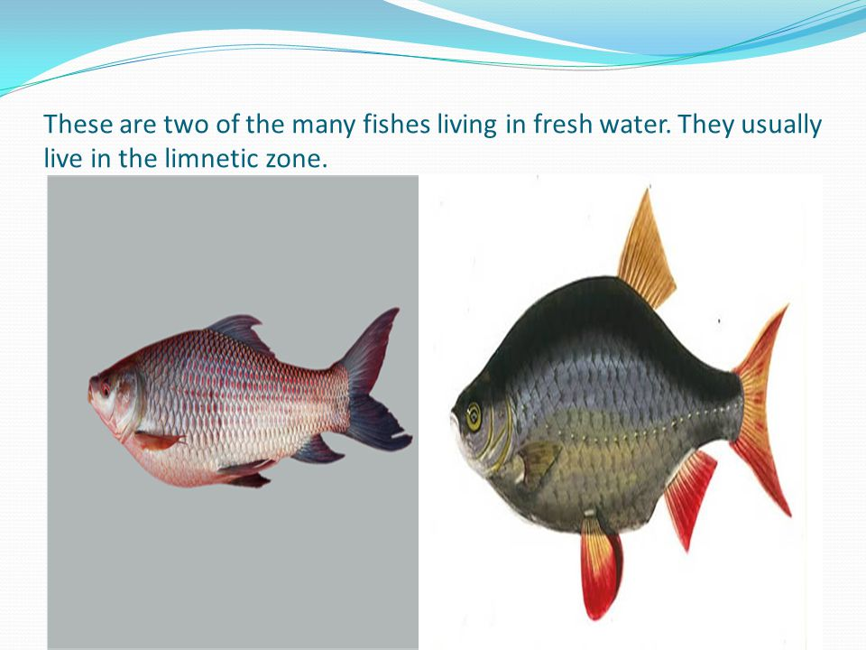 These are two of the many fishes living in fresh water