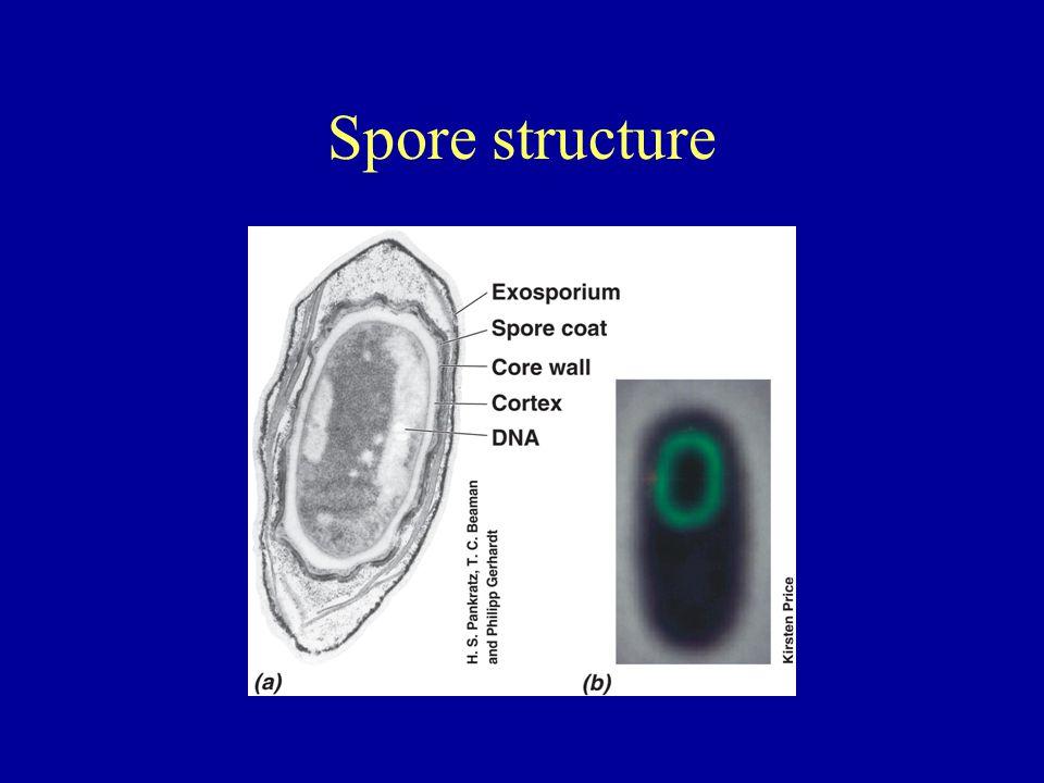 Spore structure