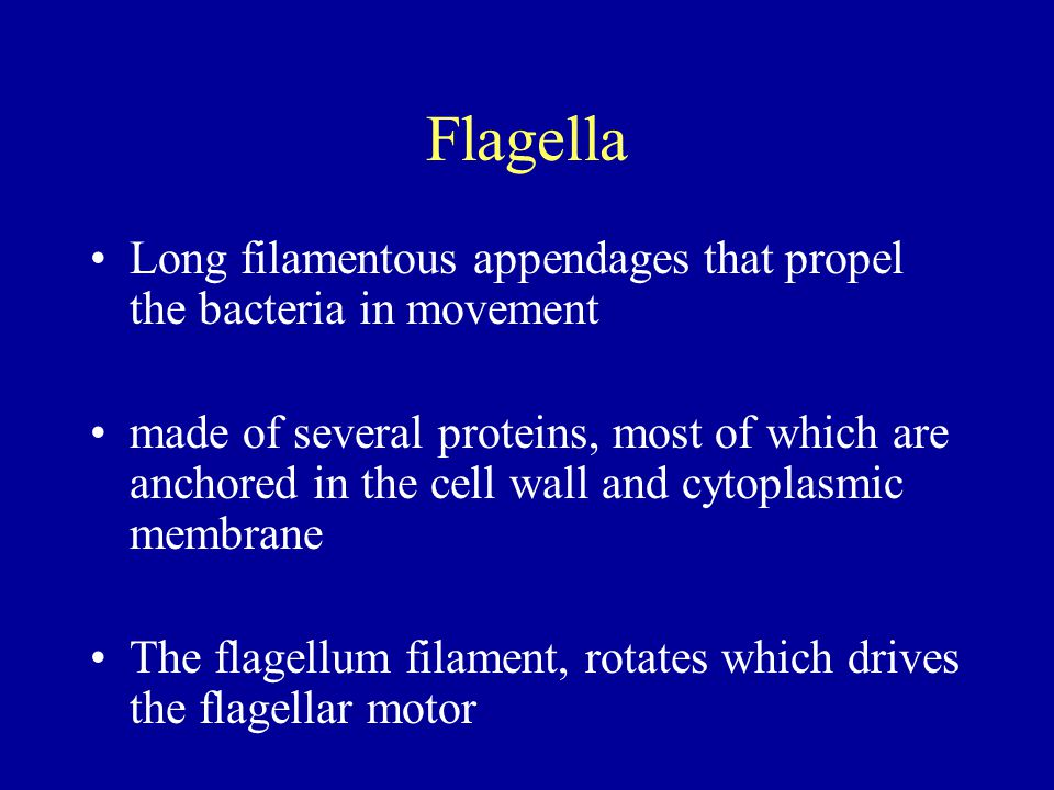 Flagella Long filamentous appendages that propel the bacteria in movement.