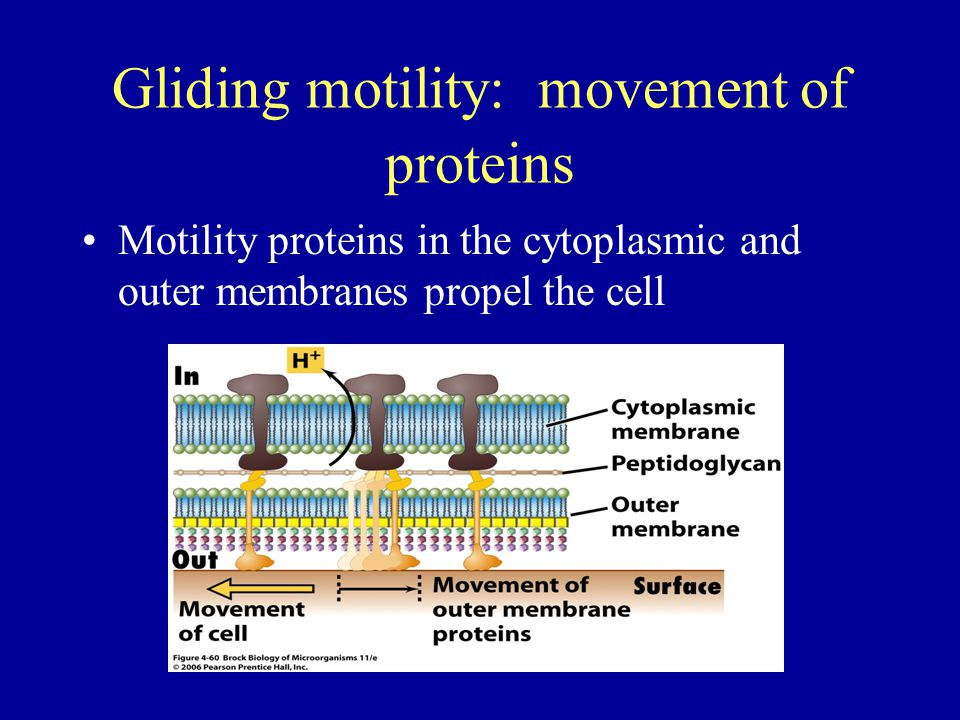 Gliding motility: movement of proteins