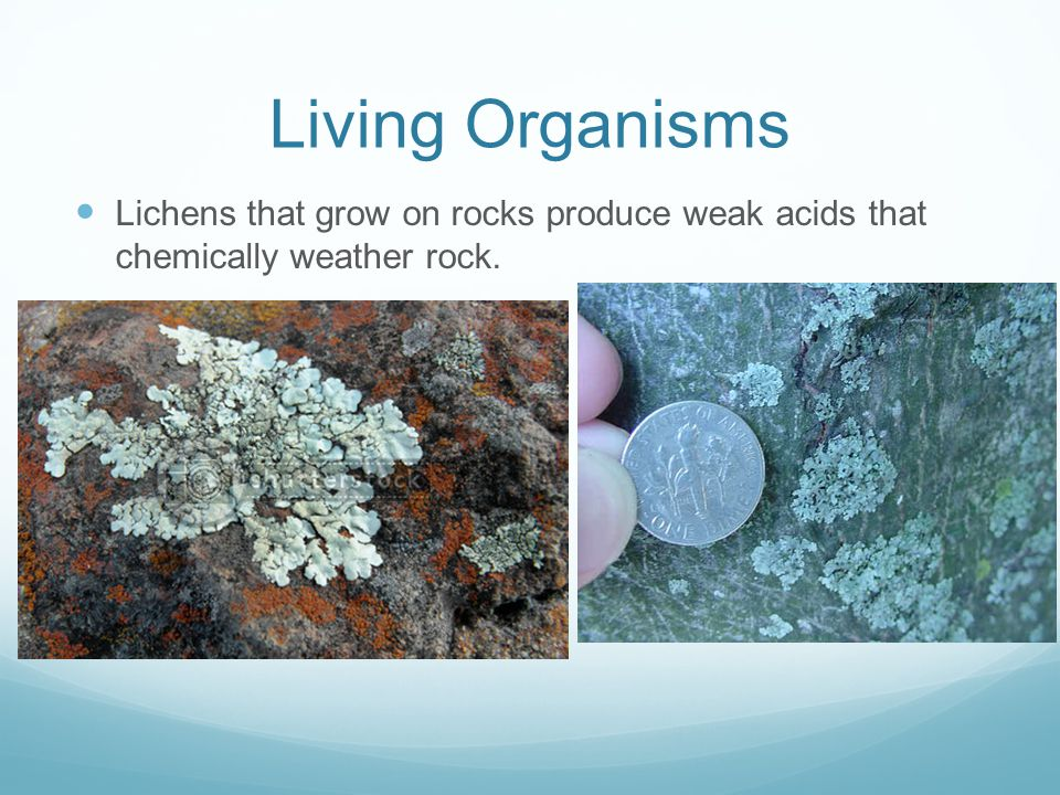 Living Organisms Lichens that grow on rocks produce weak acids that chemically weather rock.
