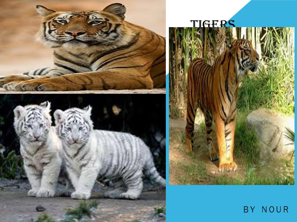 Tigers by Nour