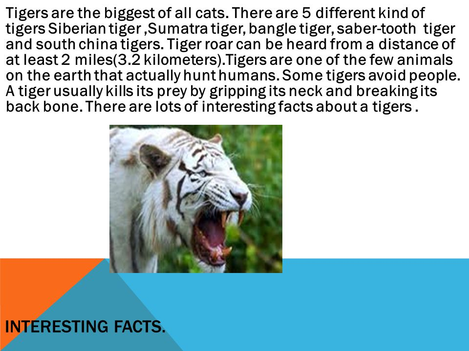 Tigers are the biggest of all cats