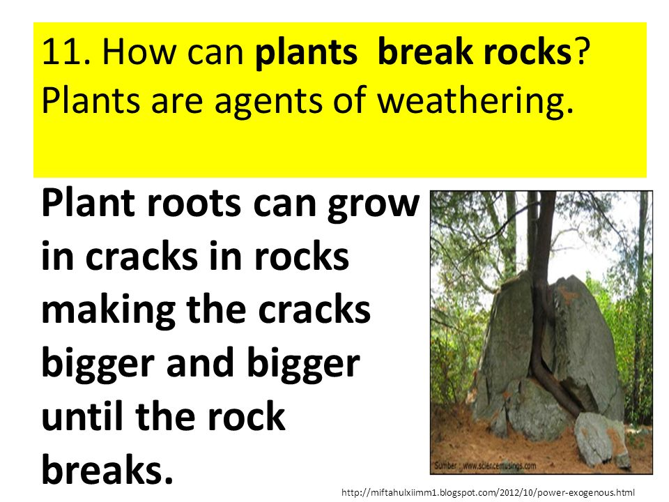 11. How can plants break rocks Plants are agents of weathering.