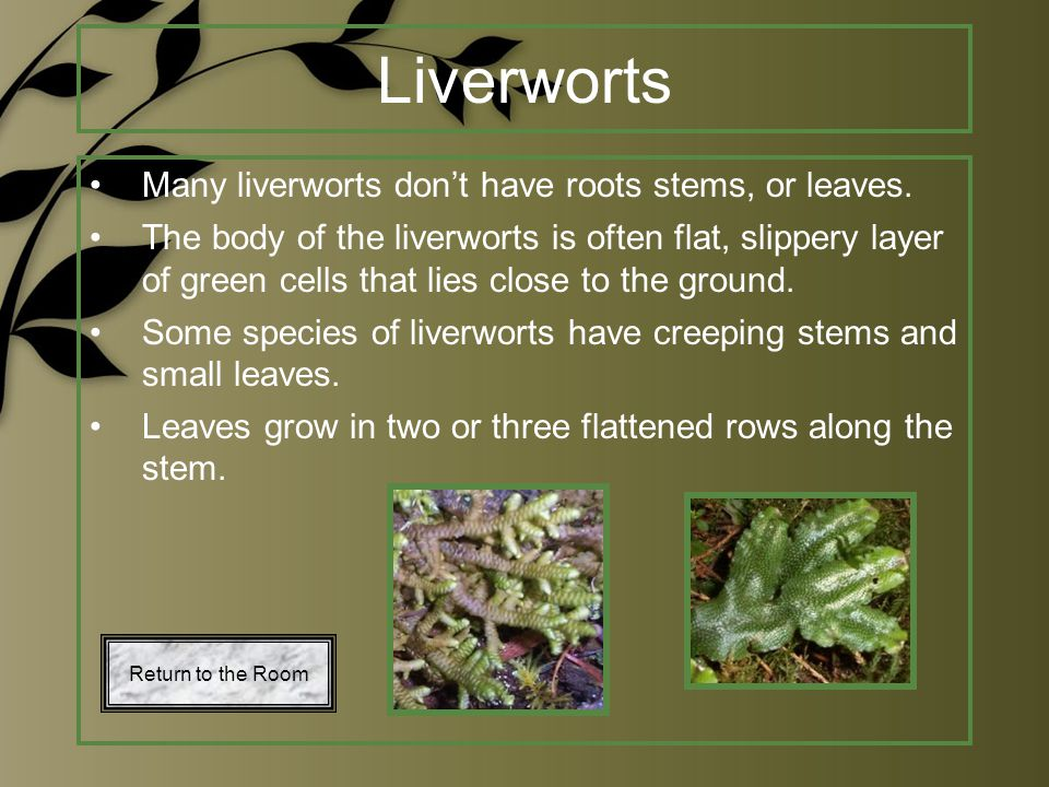 Liverworts Many liverworts don't have roots stems, or leaves.