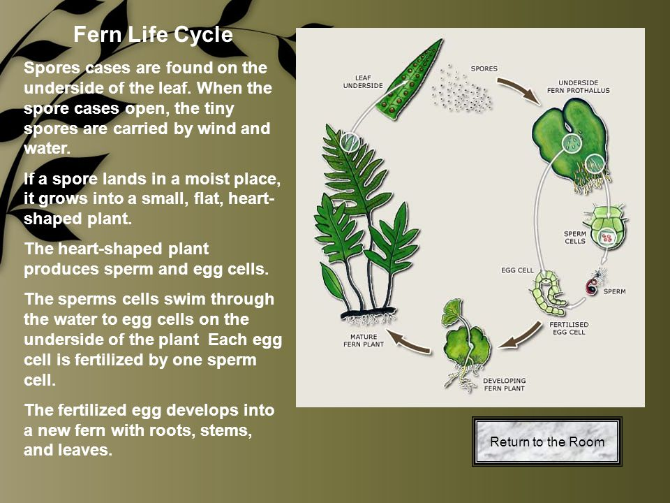 Fern Life Cycle Spores cases are found on the underside of the leaf. When the spore cases open, the tiny spores are carried by wind and water.